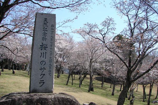 『磯部公園(桜川のサクラ)1』の画像