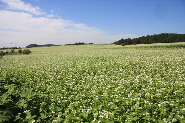 『『常陸秋そば畑1』の画像』の画像