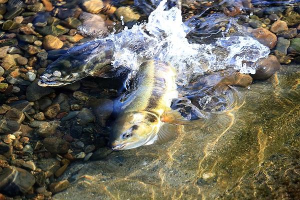 『勤行川の鮭』の画像