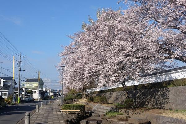 『結城桜まつり(結城小学校前)』の画像