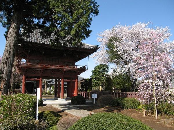 『『結城桜まつり(孝顕寺)』の画像』の画像