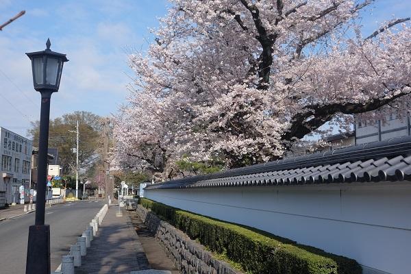 『『結城桜まつり(市役所前)』の画像』の画像