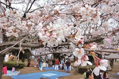 『『『結城桜まつり(城跡公園)』の画像』の画像』の画像
